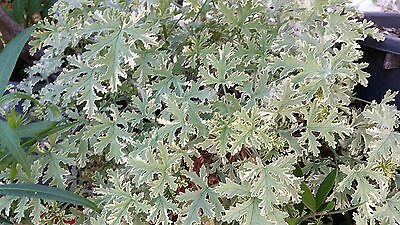 Geranium 'Lady Plymouth' mint scented variegata 2 rootless cuttings