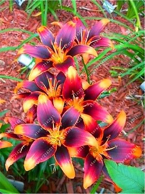 RARE Orange Lily Flower Bulbs (Not Lily Seeds) - 4 Bulbs, Garden Plants