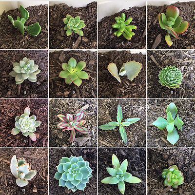 FREE EXPRESS POST 25 Mixed Succulents Cuttings ALL DIFFERENT NO DOUBLEUPS