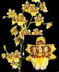 "ORCHID - Odontocidium Parquet ""Uptown Girl' - SHOWY"
