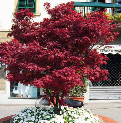 "ACERO ROSSO GIAPPONESE  ""Acer Palmatum Fire Glow """