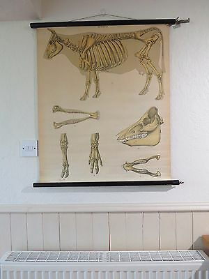 Vintage Pull Roll Down Anatomical School Wall Chart Of A Cow Skeleton Zoology