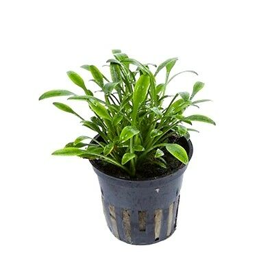 6 x 5 cm Pots of Cryptocoryne parva - Amazing Aquatic Plant