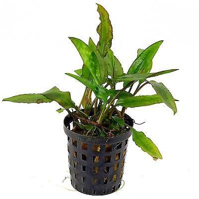 6x 5 cm Pots of Cryptocoryne usteriana «Green» - Amazing Aquatic Plant