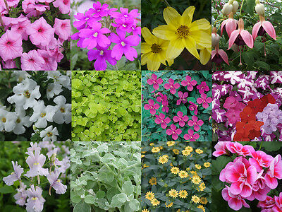 10 x Hanging Basket Plug Plants Summer Mixed Collection from Plugplants4U