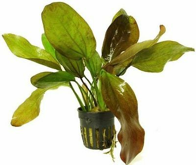 6 x 5 cm Pots of Echinodorus sp. «Fancy Twist» - Cultivar Aquatic Plant