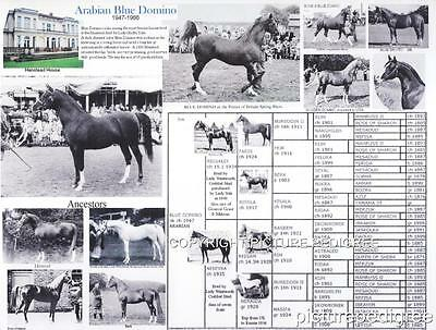 Arabian Horse Blue Domino Crabbet bloodlines picture pedigree