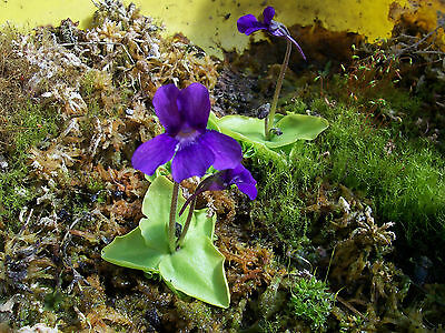 Pinguicula grandiflora one living specimen - NOT SEED!