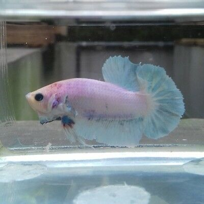 Male White PK LIVE BETTA FISH (Please read description)