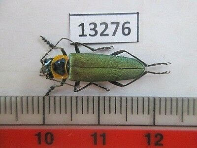 "13276.Unmounted insects. Cantharidae?""Central Vietnam"""