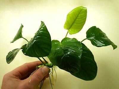 10 (Ten) x Loose Plants of Anubias barteri «Wrinkled Leaf XL» - Aquatic Plant