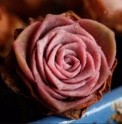 Greenovia Aizoon, hairy mountain rose, rare succulent, 10 seeds