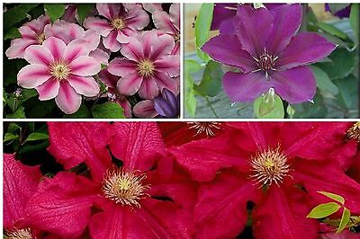 3  LARGE JUMBO PLUG  CLEMATIS IN 9cm POTS LARGE FLOWERING