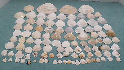 Natural Clam Seashells from the Ocean Various Sizes 104 Piece Lot