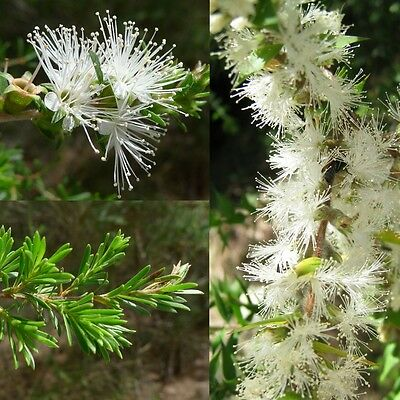 WHITE KUNZEA 'TICK BUSH' (Kunzea ambigua) 'Bush Tucker Food'