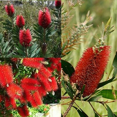 ALBANY BOTTLEBRUSH (Callistemon Glaucus) 'Bush Tucker Food'