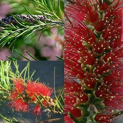NARROW LEAVED BOTTLEBRUSH (Callistemon Linearis) SEEDS 'Bush Tucker Plant'