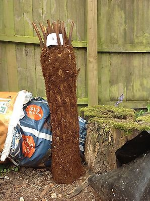 Tree Fern Dicksonia Antarctica 3 Ft trunks (UK mainland Deliv available)