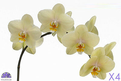 Orchids Phalaenopsis Ant Detroit QTY x 4 | 60cm | Yellow/Cream | Free S&H $150+
