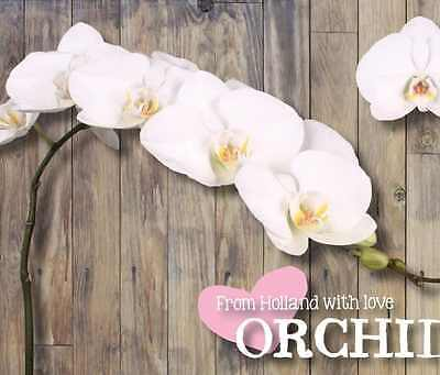Orchids Phalaenopsis Bangalore QTY x 3-9 Blooms | 80cm | White | Free S&H $150+