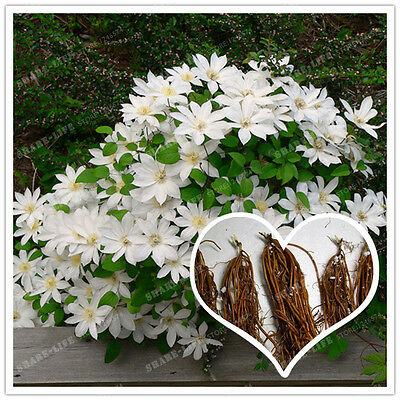 Bonsai White Clematis Flower 2 Bulbs Outdoor Plant Natural Growth Home Garden