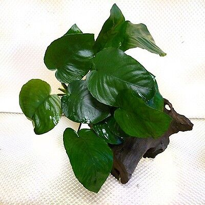 Boogwood with Anubias barteri «Broad Leaf»