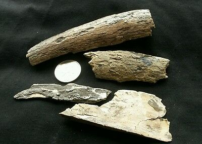 Four real Mammoth Tusk fragments, UK