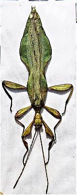 Rare Jacobsons Leaf Mimic Phyllium jacobsoni Male FAST SHIP FROM USA