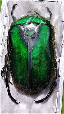 Lot of 10 Green Sumatran Flower Beetle Rhomborrhina gigantea Male FAST FROM USA