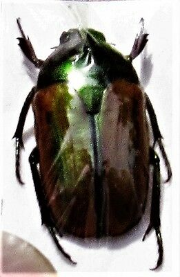 Lot of 2 Lovely Flower Beetle Lomaptera lucidula FAST SHIP FROM USA