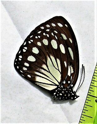 Common Forest Queen Butterfly Euxanthe eurinome Folded FAST FROM USA