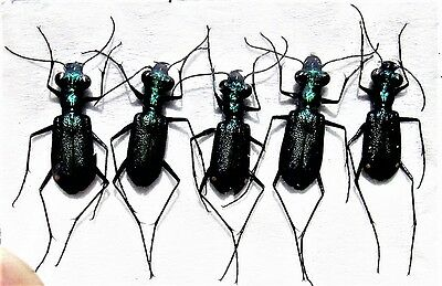 Lot of 5 Green Blue Javan Tiger Beetle Cicindela sp. FAST SHIP FROM USA