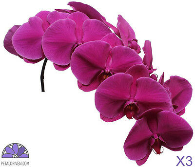 Orchids Phalaenopsis Bangalore QTY x 3 | 9 Blooms | Purple | Free S&H $150+