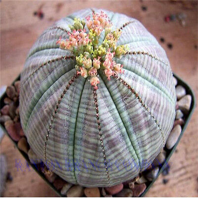 Hot sell succulent plants 2 pcs Euphorbia obesa seeds, very rale Cactus flower