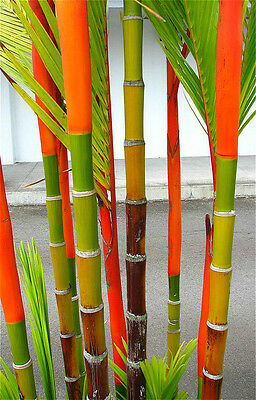 30 Semi di Bamboo Red Sealing Wax Palm Decor Design Garden Doc