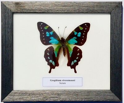 Real Graphium Stresemanni Butterfly In Framed Display: Taxidermy