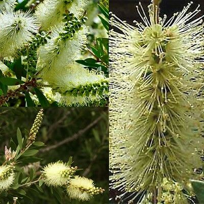 LEMON BOTTLEBRUSH (Callistemon Pallidus) SEEDS 'Bush Tucker Food'