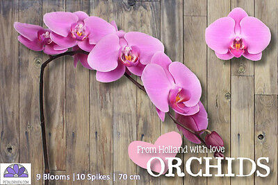 Orchids Phalaenopsis Kunming QTY x 10 | 9 Blooms | 70cm | Pink | Free S&H $150+
