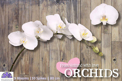 Orchids Phalaenopsis Kyoto QTY x 10 | 9 Blooms | 80cm | White | Free S&H $150+