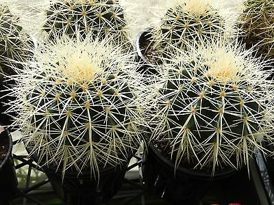 Echinocactus grusonii golden barrel succulent