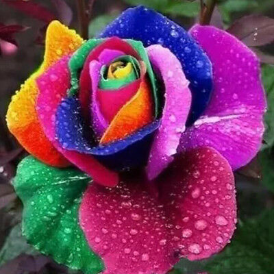 Rainbow Rose Flower Seeds 300 Seeds Per Package Balcony Potted Flowers Garden