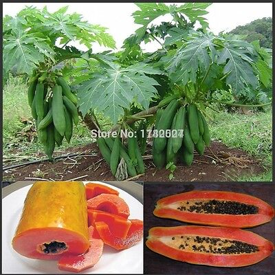 Red Lady PAPAYA Seed, 50pcs/bag, succulent plant very easy fruit, fresh seeds