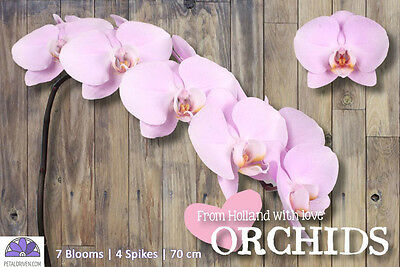 Orchids Phalaenopsis Manila QTY x 4 | 7 *REAL* Blooms | Pink | Free S&H $150+