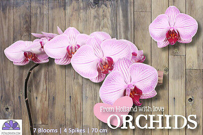 Orchids Phalaenopsis Medan QTY x 4 | 7 REAL Blooms | Bi-Color | Free S&H $150+