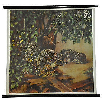 vintage poster pull-down wall chart picture of a hedgehog familiy r0231