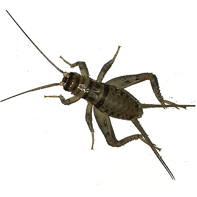 100, 250, 500, 1000+ Live Crickets (Banded) - Starting 100/$14.99 - 500/$15.49