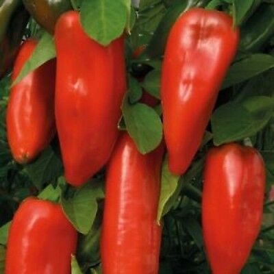 Red Sweet Pepper plants - Ready for transplant- 100% Heirloom/Non-Hybrid/Non-GMO