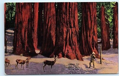*1940s Big Trees Santa Cruz California CA Deer Hiker Old Vintage Postcard B98