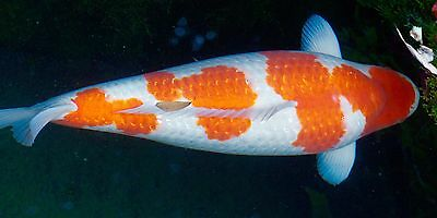 Koi carp kohaku 75cm japanese breeding picclick uk for Koi kohaku japanese