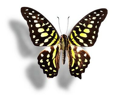 Lot of 2 Tailed Jay Butterfly Graphium agamemnon Folded/Papered FAST FROM USA